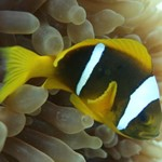 dive hurghada-diving-water-underwater-sea-red sea-egypt-hurghada-nemo-nemo fish-fish